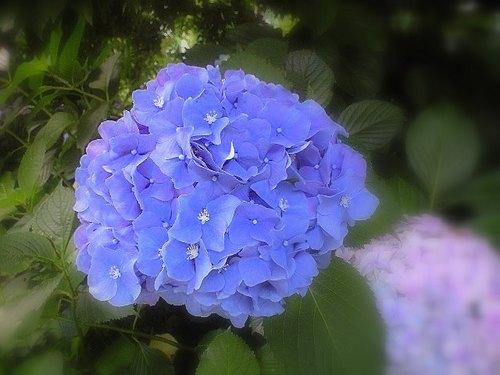 相方に貰った紫陽花の画像